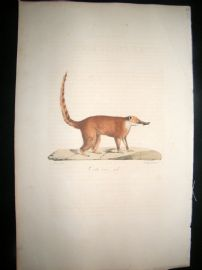 Saint Hilaire & Cuvier C1830 Folio Hand Colored Print. Common Red Coati